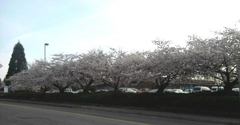 Sakura in Seattle